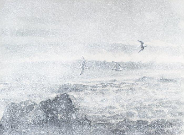 Goélands dans la tempête - Norvège - 2021